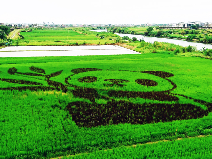 宜蘭縣壯圍鄉公所去年推出彩繪稻田,稻田裡長出貓熊,今年則是企鵝家族。  本報資料照片