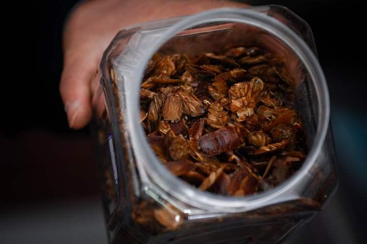 雖然主要收入來源其實是將蟑螂直接出售給養殖場或藥廠,但李兵才也熱衷於找當地餐廳合作,把蟑螂變成四川風味的佳餚。法新