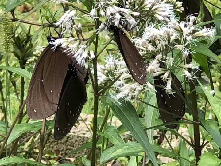 八卦山的紫斑蝶在花間覓食。照片/成功營區綠色環境學機習營地陳永昌志工提供