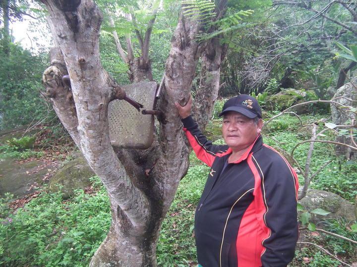 台東縣延平鄉鸞山部落一處梅樹園主胡新榮,25年栽種的鳳凰樹,竟將一張鐵椅子給吞噬了,他取名「吃椅子的樹」。記者尤聰光/攝影