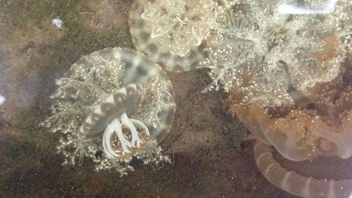 高市林園海洋濕地公園的倒立水母是珍貴的自然生態。記者劉星君/翻攝