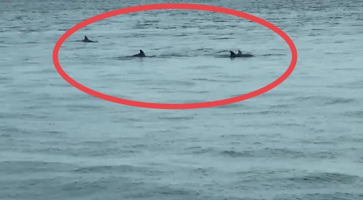 20多隻海豚今天游到台中港區內。圖/台中海巡隊提供