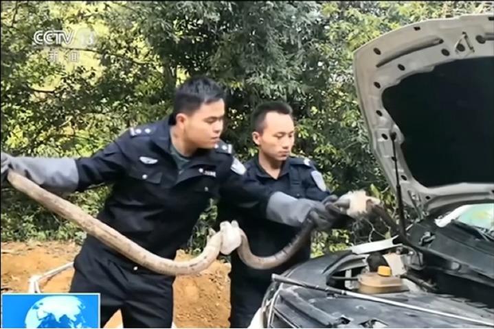 中國雲南省一名女子,日前在路上碰到一條眼鏡蛇,沒想到眼鏡蛇居然趁機爬入女子車子的引擎內,嚇得女子只能趕緊報警;警方最後從引擎中,拉出一條長2.7公尺的眼鏡蛇。路透社