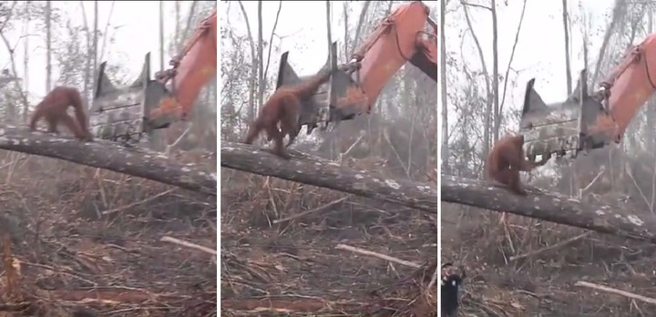 英國《BBC》日前播放氣候變遷紀錄片《氣候變化的事實》,其中一段畫面顯示在印尼雨林中,一隻紅毛猩猩為了守護家園,肉身抵抗挖土機,讓網友看了大嘆「畫面讓人心碎」,凸顯人類何其自私。圖片擷取《每日郵報》影片