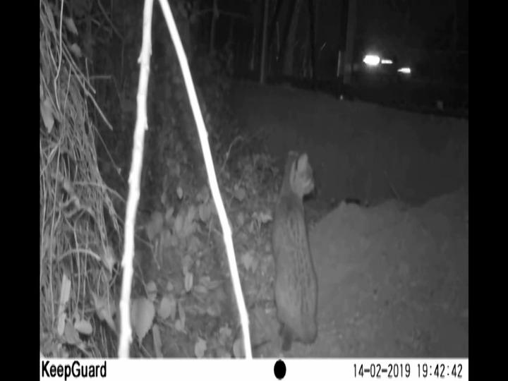 苗栗縣政府委託研究團隊2月14日紀錄到石虎在苗29線防護網內,受阻無法穿越馬路的狀況。圖/苗栗縣政府提供