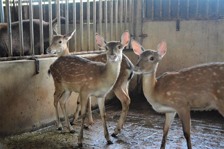 台南佳里漳洲社區是養鹿重鎮,鹿快比人多,出生就接受人工餵奶的小鹿萌翻了,在社區小旅行動中會和遊客互動。記者吳淑玲/攝影
