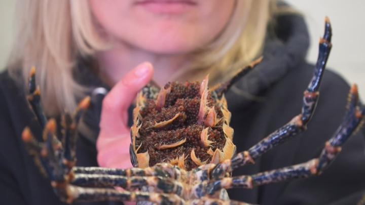 為挽救捕獲量逐年下降的野生歐洲龍蝦,英國生物學團隊創建全新人工養殖計畫。《路透》報導,由於需求量遠遠超過漁獲量,歐洲龍蝦的價格波動劇烈。來自英國西南沿海的團隊希望他們的「龍蝦培育計畫」可以避免龍蝦從菜單上消失。路透