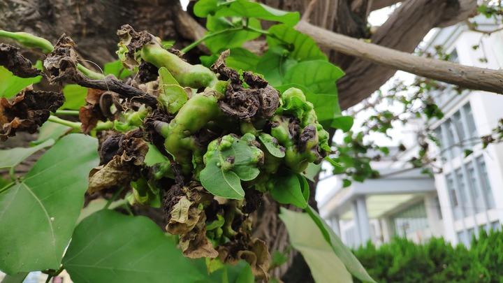 樹枝、樹木猶如長腫瘤。記者李京昇/攝影