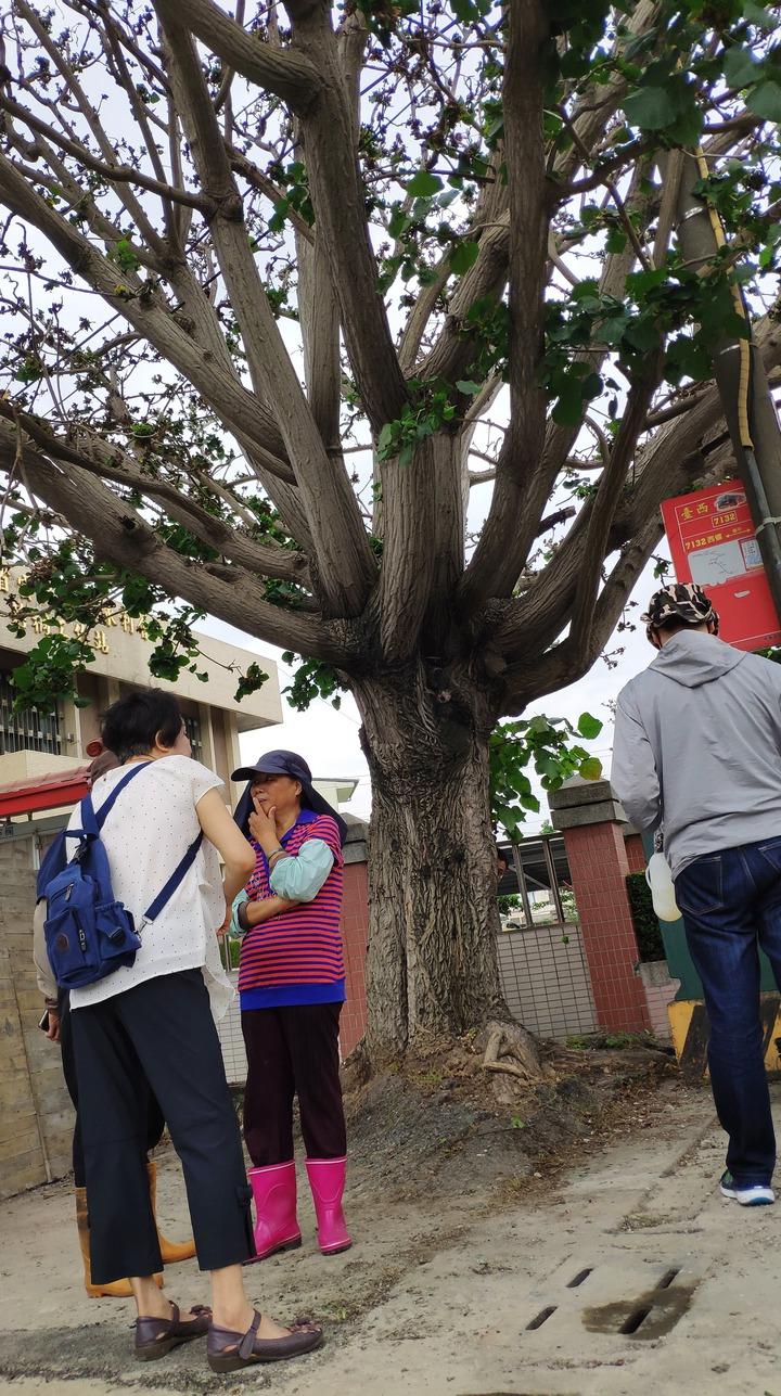 莿桐鄉公所旁的刺桐樹已有百餘年樹齡。記者李京昇/攝影