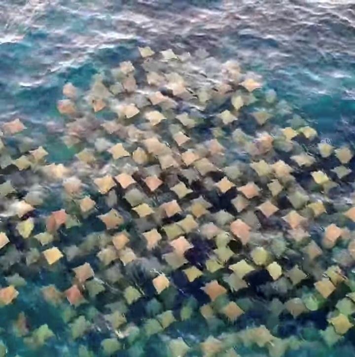 Drone Shark App團隊的無人機16日澳洲雪梨外海拍到數百隻牛鼻魟排成接近整齊劃一的隊形群游。據指澳洲海域有2種牛鼻魟,但此前未曾出現在雪梨外海一帶。路透/Drone Shark App