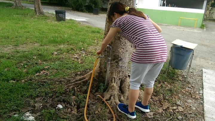 台東市區一所國中校園內,有一棵近40年的菩提樹,竟有水龍頭管線從樹根下接上來,打開水龍頭還不斷冒出水來,不知情民眾還以為菩提樹生出水感到新奇。記者尤聰光/攝影