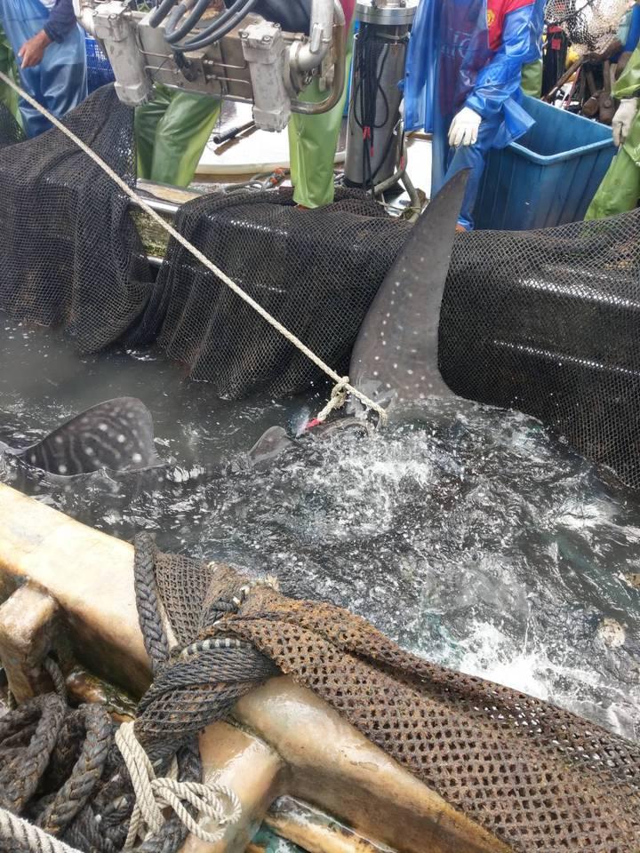 豆腐鯊誤闖定置漁區,漁民以漁網托住,專船護送保育類巨大嬌客出大海。圖/ 讀者提供