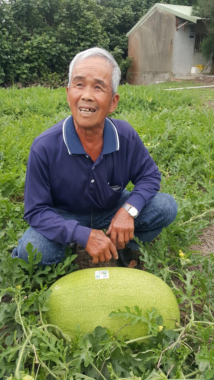 在後龍鎮清海宮附近種西瓜的老農王忠義,近年來在白沙屯媽祖婆網 站協助行銷下,建立「福伯」的西瓜品牌,打響知名度。記者胡蓬生/攝影