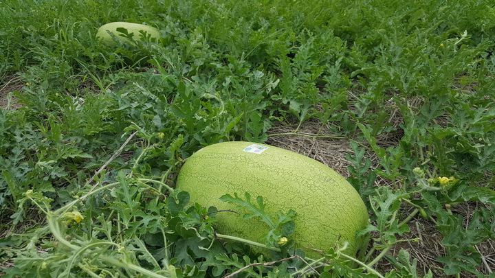 後龍西瓜品質優良,即將進入產期。記者胡蓬生/攝影