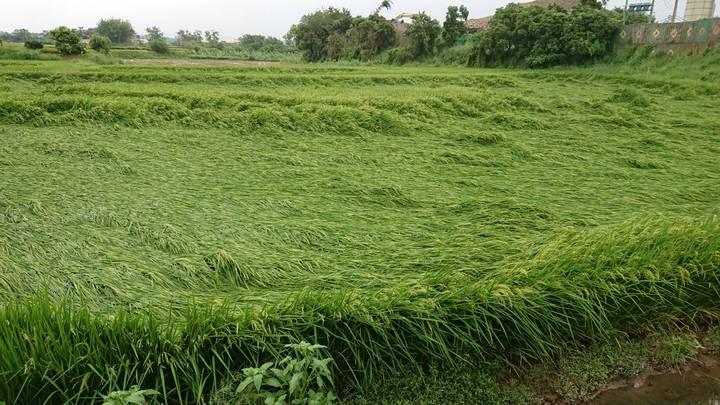 農民苦嘆不僅因稻熱病受害,近日大雨也造成稻作倒伏。記者卜敏正/攝影