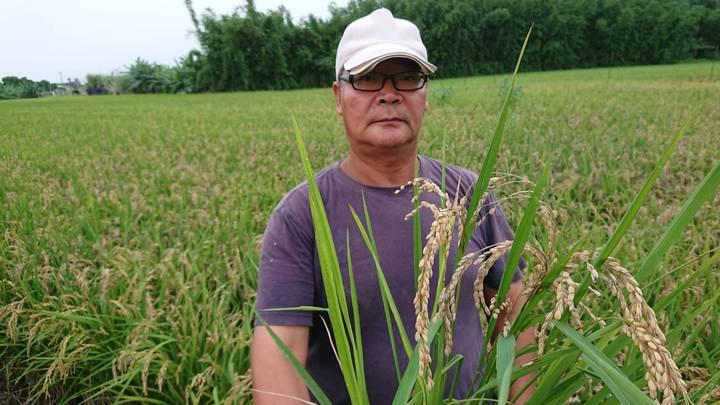 農民苦嘆,稻熱病受害近5成都空包彈。記者卜敏正/攝影
