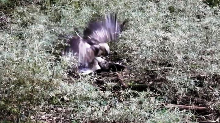 玉山國家公園最近在臉書公布一段「熊鷹打架實記」,是屏科大野生動保研究所蔡幸蒨所拍攝到的鮮活畫面。記者黑中亮/翻攝
