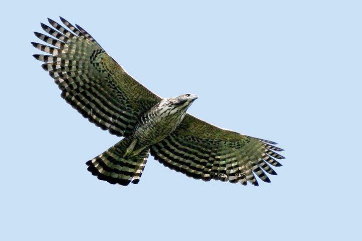 熊鷹是本島上最大型居留猛禽,分布在海拔200至3000公尺,玉管處粗估族群約1000多隻。記者黑中亮/翻攝
