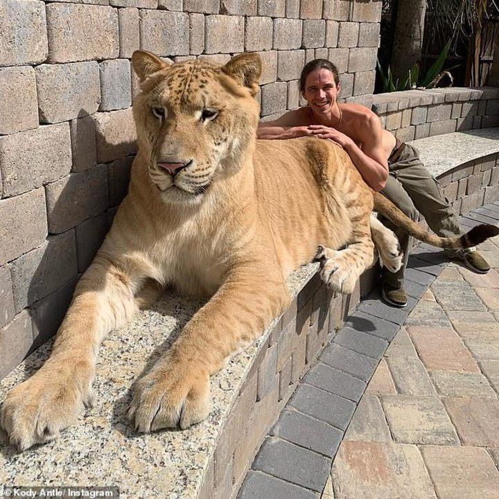 美國南卡羅萊納州「美特爾海灘野生動物園」(Myrtle Beach Safari),有一隻稀有巨大的白獅虎(Liger),重319公斤的體型,足以跟重達400公斤的史前劍齒虎作比較,龐大的身形卻有著溫馴的個性,有網友心疼表示,牠是「人類自私下的產物」。圖片翻攝Instagram/@kodyantle