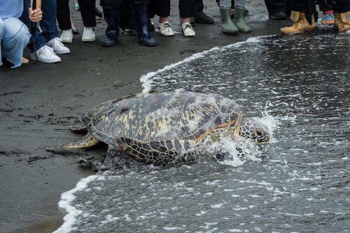 綠蠵龜「古木」經海洋大學帶回檢查與照養觀察,經近2個月,恢復良好,專業評估確認,今天在蘇澳鎮無尾港海灘野放回家。圖/宜蘭縣政府提供