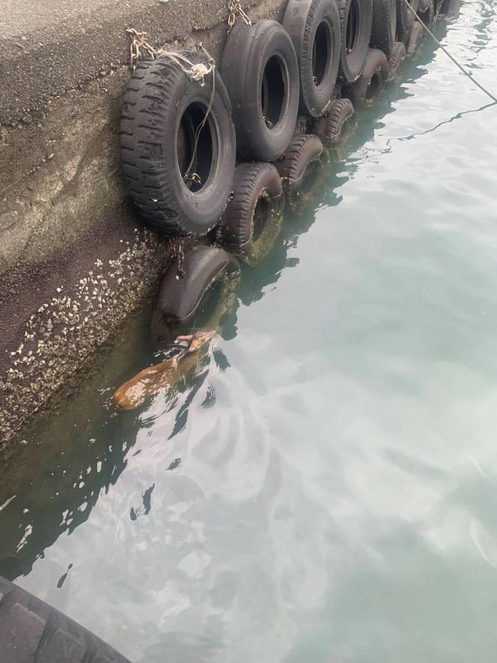 貢寮東北角海域美艷山漁港,今天下午有一隻山羌落海,幸好被岸巡人員救起。圖/第二岸巡隊提供
