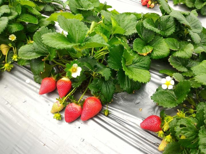 苗栗區農業改良場生物防治分場歷時6年,培育出新的草莓品種「戀香」,今授權給大湖農會,開放新品種給農友試種,提供草莓品種栽培新選擇。圖/苗栗區農業改良場提供