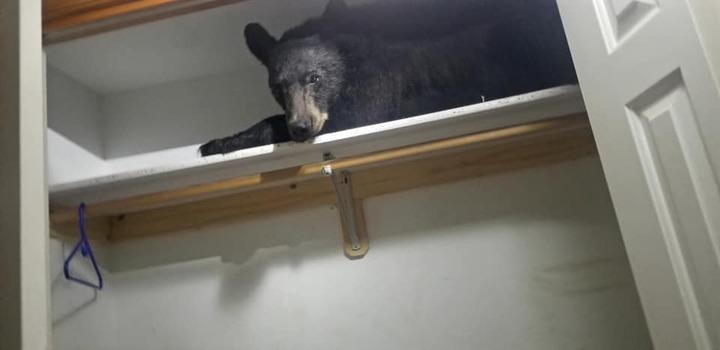 美國蒙大拿州有一隻野生黑熊,在誤闖民宅不小心把自己鎖在民宅中後,居然還爬到衣櫃層架上睡,嚇壞屋主。Facebook/Missoula County Sheriff's Office
