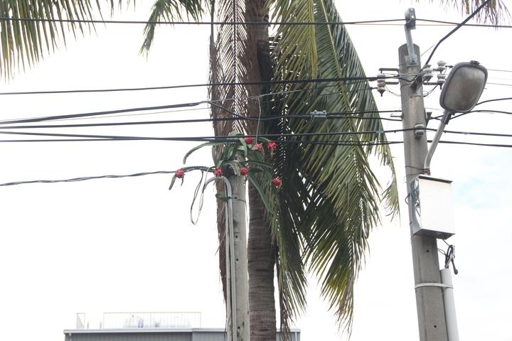 員林一處私人土地上電桿長出七顆火龍果。記者林敬家/攝影