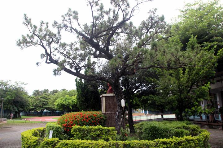 永興國小校門口的黑松樹是鎮校之寶。記者林敬家/攝影