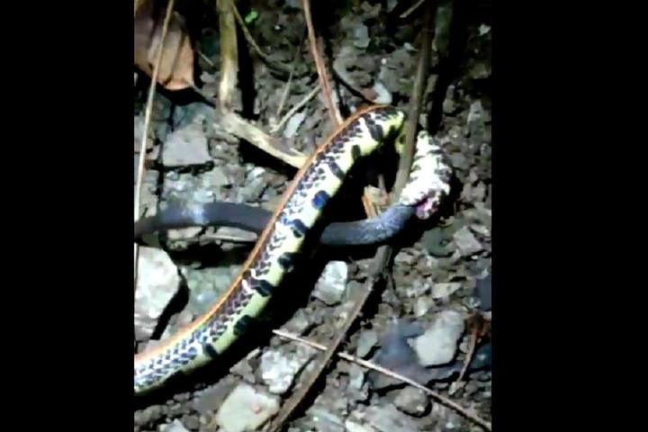 奧萬大國家森林遊樂區上演「蛇吞蛇」晚餐秀,「羽鳥氏帶紋赤蛇」吞食體行較小的「鐵線蛇」。圖/南投林管處提供