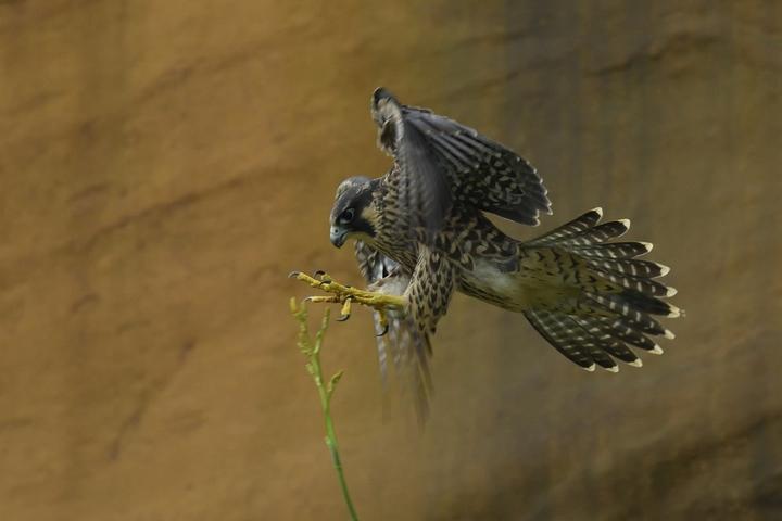 深澳遊隼守護有成,兩隻幼鳥成功離巢,從交配、產卵、育雛及幼鳥離巢學飛的過程,志工都有詳細的觀察,新北市動保處在暑期加碼,請瑞芳導覽協會志工協助進行保育遊隼的解說導覽活動。圖/基隆鳥會提供