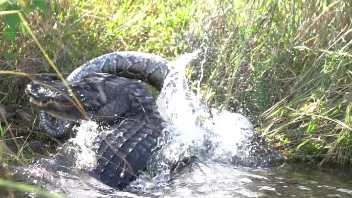 美國攝影師伊文·威爾森(Ewan Wilson)日前捕捉到鱷魚吞食巨蟒的驚悚畫面。影片可見體型龐大的鱷魚狠咬拋摔體型不亞於鱷魚的大蟒蛇。威爾森躲在一旁草叢中指出,緬甸蟒是外來物種,這隻鱷魚吃掉牠可說是為生態保育做出了貢獻。路透/Newsflare