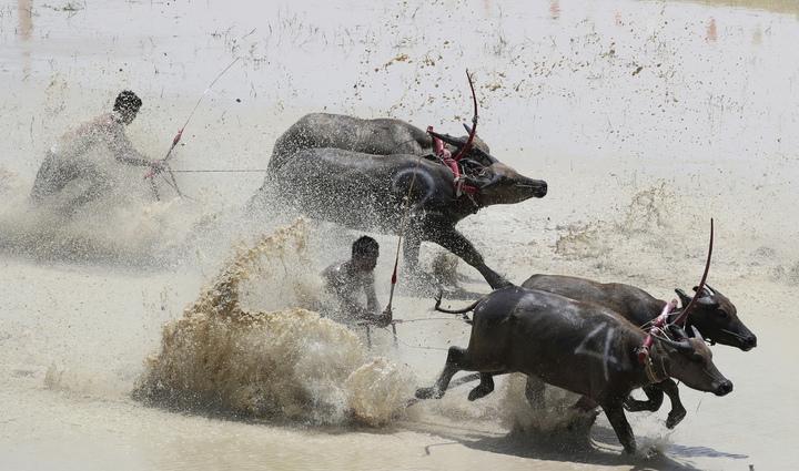 泰國東部春武里13日舉行年度傳統水牛木犁賽跑,慶祝嶄新農季的開始,並感謝水牛接下來一年的辛勞。可千萬別小看這些平時行動看似緩慢的水牛,牠們飛奔起來,氣勢完全不輸給凶猛的西班牙鬥牛。美聯社