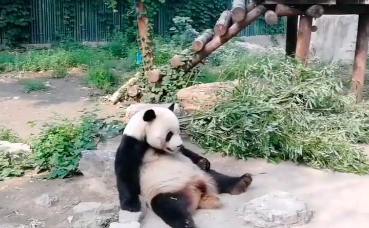 大陸網友在微博爆料稱,北京動物園半小時內有兩人向熊貓「萌大」扔石頭。圖/翻攝自網路
