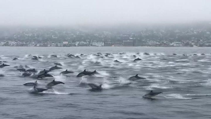 美國男子派特森,14日在加州南部沿岸玩水翼船時,吸引了一大群海豚前來測熱鬧,追逐水翼船嬉鬧玩耍。路透
