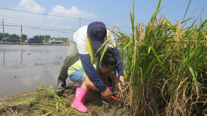 苗栗縣頭屋鄉一處稻田今天成了教室,幼童體驗收割與脫穀。記者范榮達/攝影