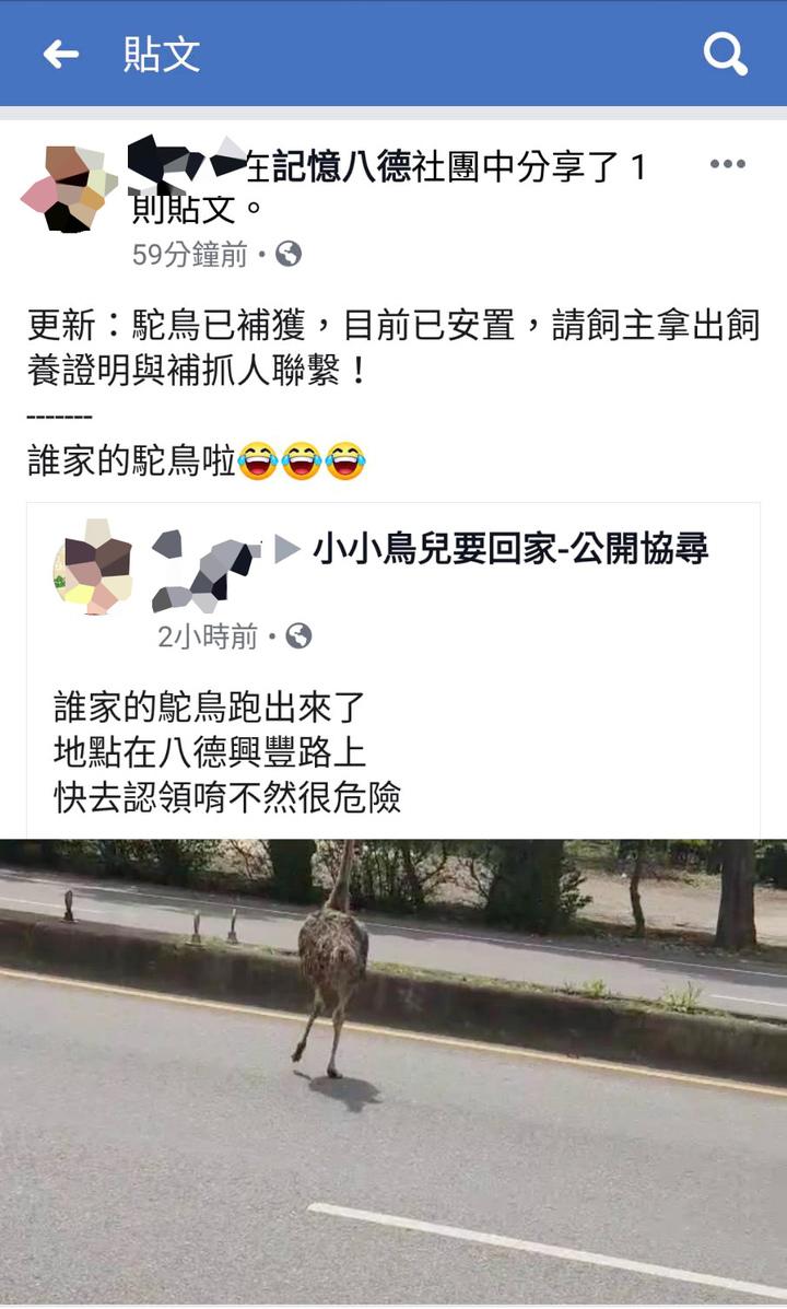 桃園市八德落跑的鴕鳥在興豐路上一路狂奔,車輛紛紛避開,網友在臉書「記憶八德」社群PO文更新鴕鳥動態。圖/取自臉書「記憶八德」社群