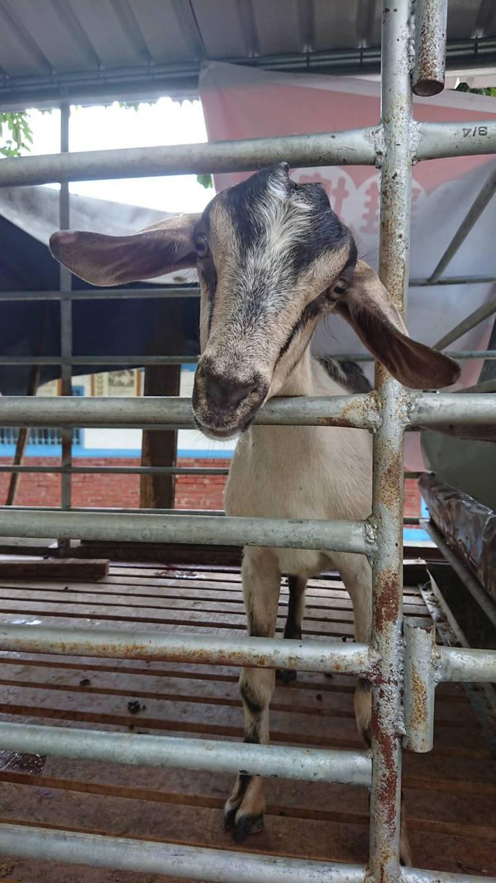沈幸正帶著3頭羊回到鹿草老家,繼續推動觀光教學,讓地方學童能親近、認識動物。記者卜敏正/攝影