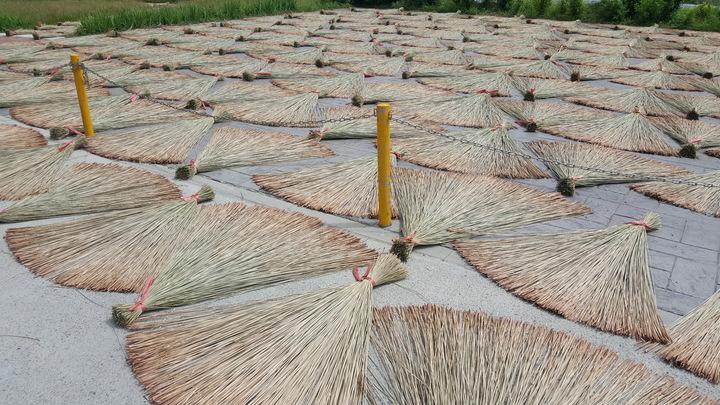苗栗縣苑裡鎮被譽為藺草編織的原鄉,日曬中的三角藺草形成迷人的構圖。記者胡蓬生/攝影