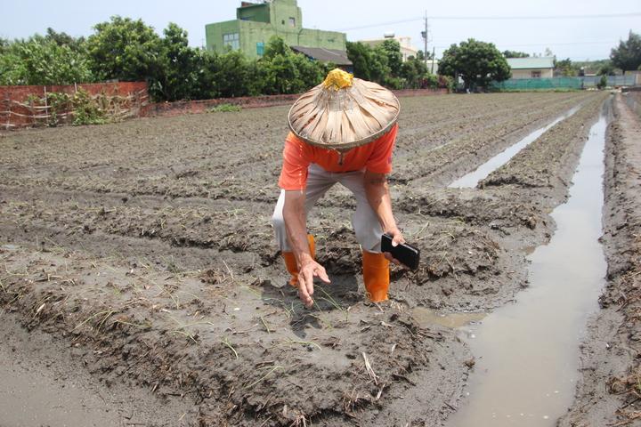 伸港鄉洋蔥產銷班班長蘇明珍說,昨晚暴雨下了二小時,但他開了二部抽水機一直抽到天亮,就是怕洋蔥苗被泡在水中,就真的會完蛋。記者林宛諭/攝影