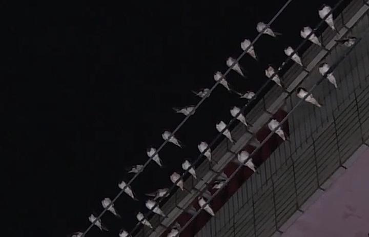 燕子密密麻麻排排站在電線杆上休息。記者林敬家/攝影
