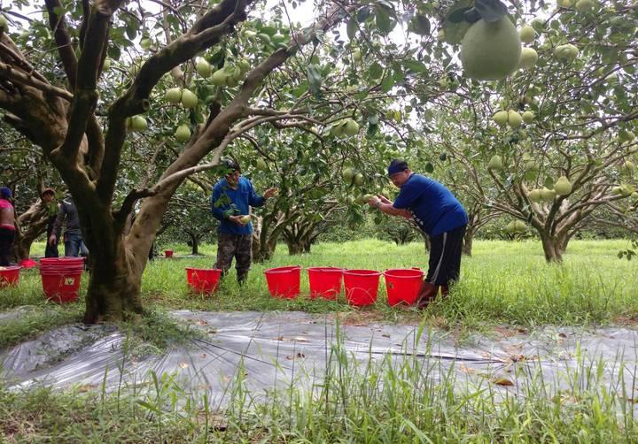 現在適逢文旦柚採收期,柚農正全力採收。圖/柚農羅峰提供