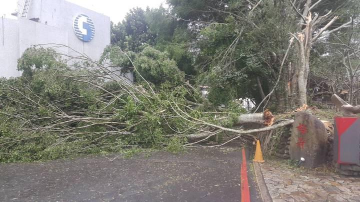 日月潭下午颳起11級強風,不少路樹不敵強風被連根拔起。圖/讀者提供