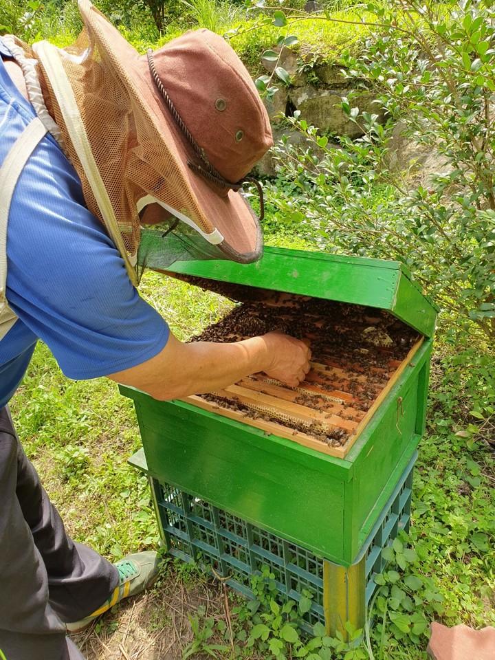 明德社區養蜂班參與野蜂復育工作,在外巡檢人造野蜂箱。圖/謝文達攝影、提供