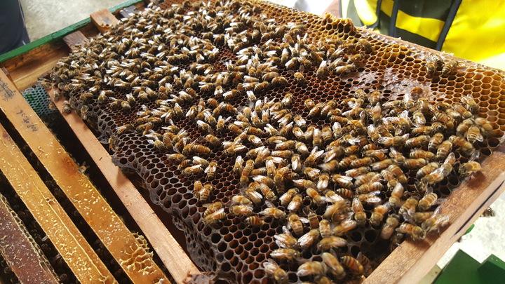 頭屋鄉明德社區養蜂班養殖義大利蜂,以定置蜂箱方式養蜂。記者胡蓬生/攝影