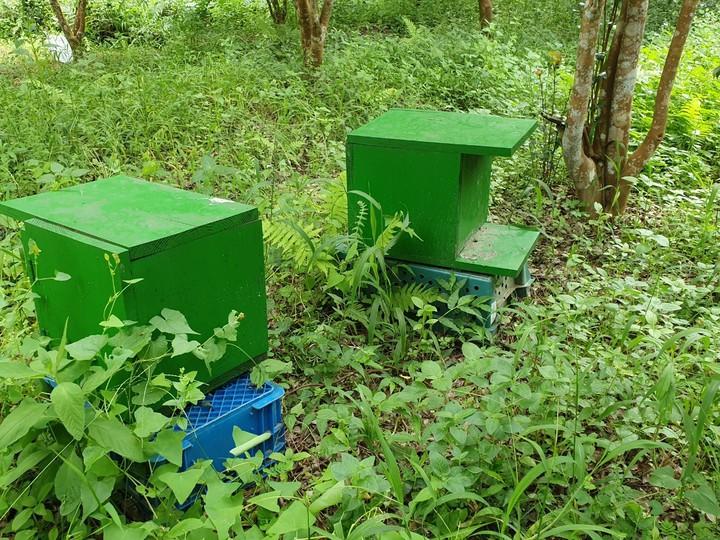 明德社區養蜂班參與野蜂復育計畫,在外設置的林下野蜂蜂箱。圖/謝文達攝影、提供