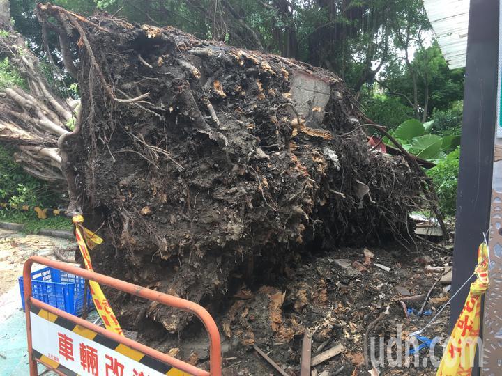 輕度颱風「白鹿」快閃台灣,北台灣昨天出現間歇風雨,傳出台北市一處停車場老樹倒塌,壓毀資深藝人楊慶煌在內的3名車主愛車。記者張世杰/攝影