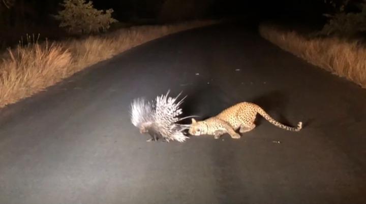 南非克魯格國家公園(Kruger National Park)日前出現搞笑一幕,一隻花豹試圖獵捕豪豬,卻因為豪豬豎起尖刺防禦,讓牠完全不知從何下手,最後只能無奈地坐在馬路上,目送豪豬揚長而去。美聯/Caters TV