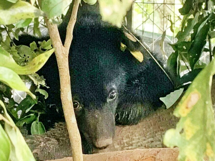 7月27日獲救的廣原小熊,經廣原村民取名布農族女性名字「姆拉斯」,有象徵堅忍不拔的精神。圖/台東林管處提供