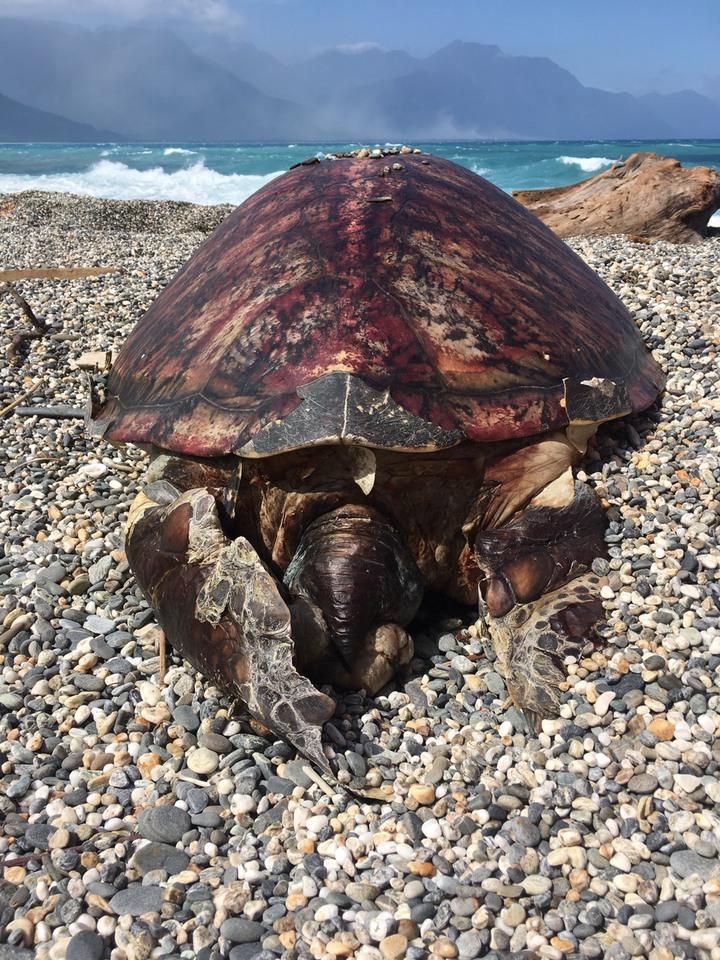 綠蠵龜為一級保育類動物,發現該綠蠵龜盾片數量異常,明日海巡署岸巡隊將與花蓮縣政府農業處人員前往研究。圖/海巡署第一二岸巡隊提供